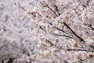 鶴舞公園の花見、場所取りのコツやルール・注意事項2016